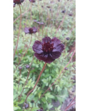 Cosmos Black Beauty