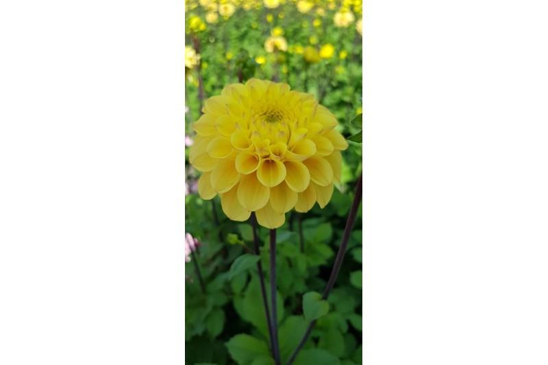 Dahlia Yellow Don