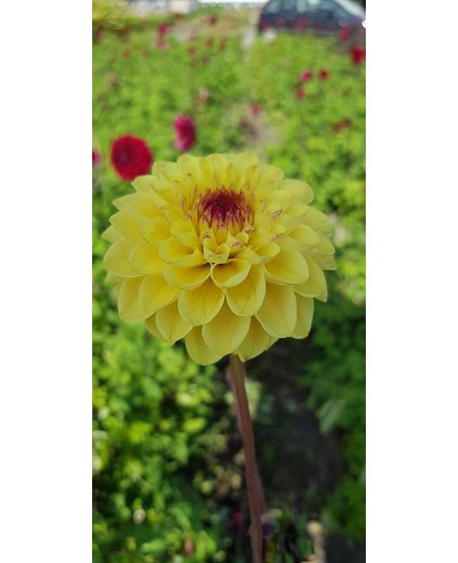 Dahlia Yellow Jill