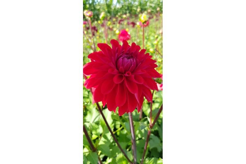 Dahlia Red Mylene