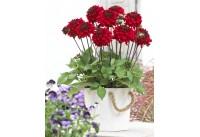 Planten van dahlia's