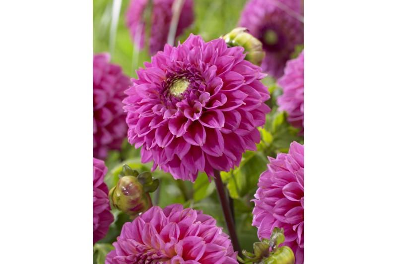 Dahlia Senior's Pink