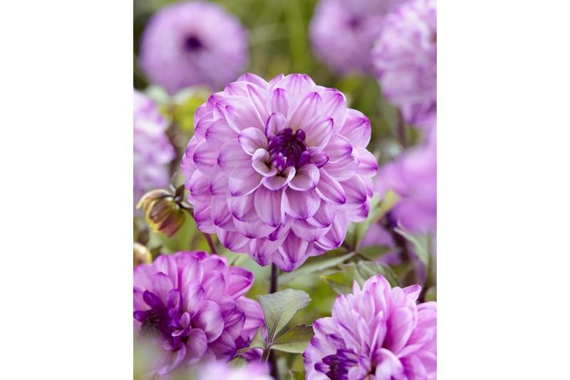 Dahlia Senior's Purple